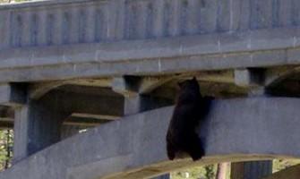 Rescatan oso que saltó de un puente