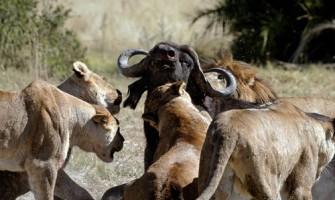 La verdadera cara de los leones