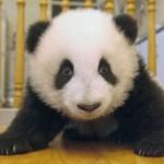 Los primeros tres meses de un panda