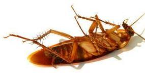 ¿Por qué las cucarachas se voltean cuando mueren?