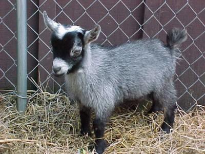 Detienen a una cabra por asalto a mano armada