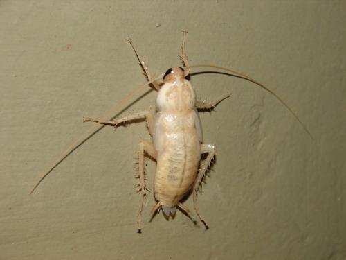 Cucarachas blancas?