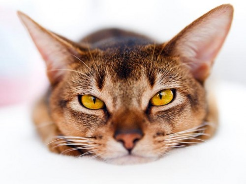 101418789-cat-panleukopenia-fact-sheet-632x475