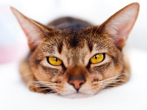La orina de gato es afrodisiaco
