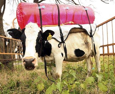Los pedos de vaca contribuyen al calentamiento global (?)